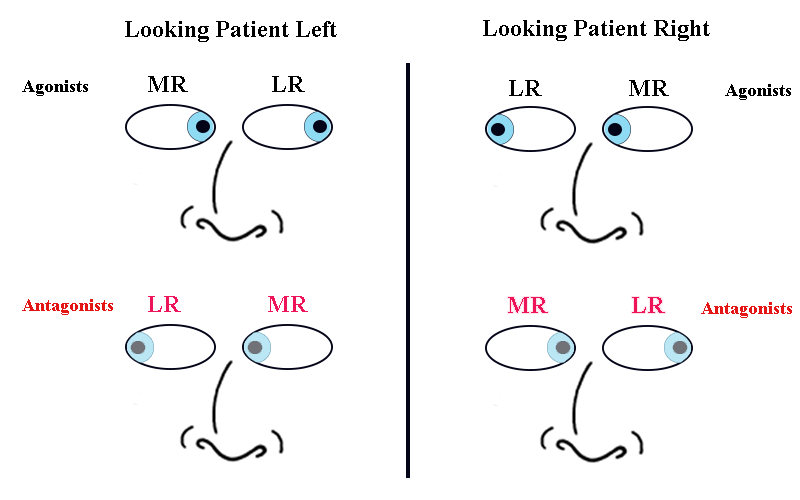 Extraocular Muscles And Movements