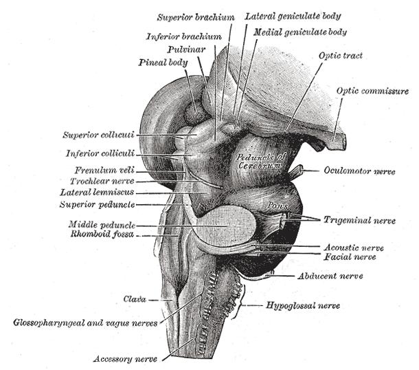 Normal Ct Brain 1 likewise Brainstem moreover Brain Tumors 4786490 besides Plant Kingdom moreover Pathophysiology Of Migraine. on vascular system of brain